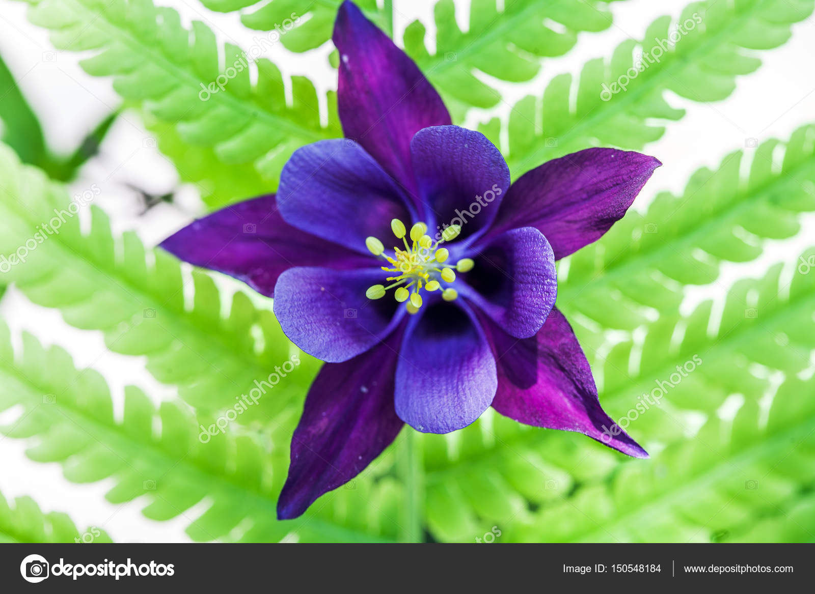 Blue columbine aquilegia on the background of green leaves stock blue columbine aquilegia on the background of green leaves stock photo izmirmasajfo