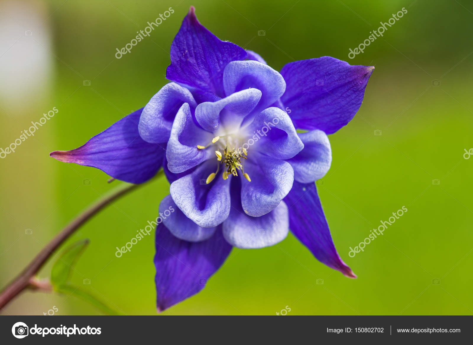 Close up of blue columbine aquilegia blossom growing on aspen forest close up of blue columbine aquilegia blossom growing on aspen forest floor stock photo izmirmasajfo