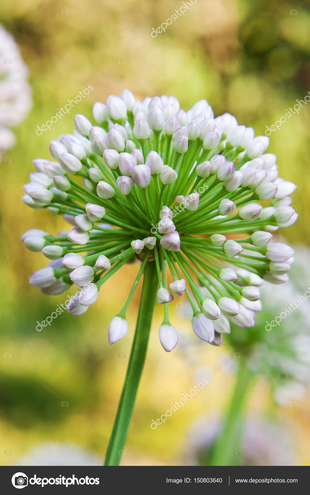 Single Allium Flower With White Head On A Garden Background Stock