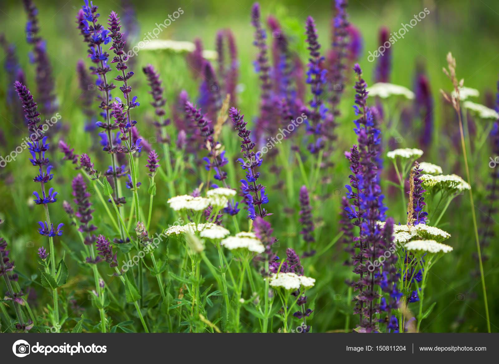 Purple Wild Flowers In The Grass Stock Photo Sichkarenkocom