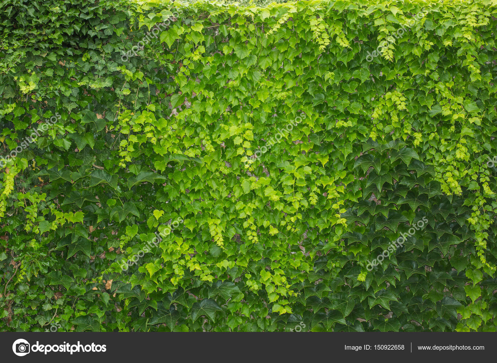 Green Living Fence From Ivy Leaves U2014 Stock Photo