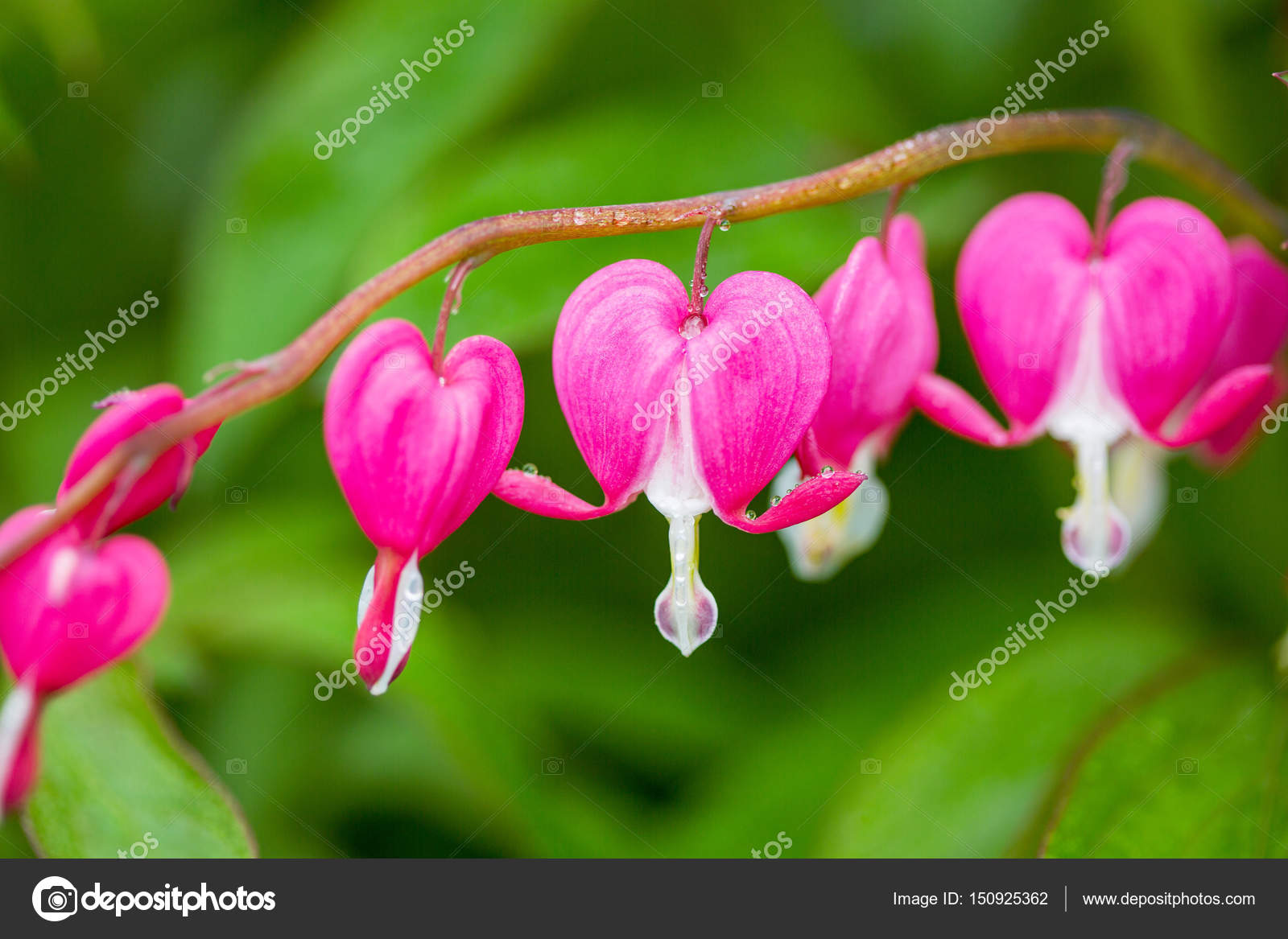Blooming pink bleeding heart flowers dicentra spectabils stock blooming pink bleeding heart flowers dicentra spectabils over nature background close up photo by sichkarenkocom mightylinksfo