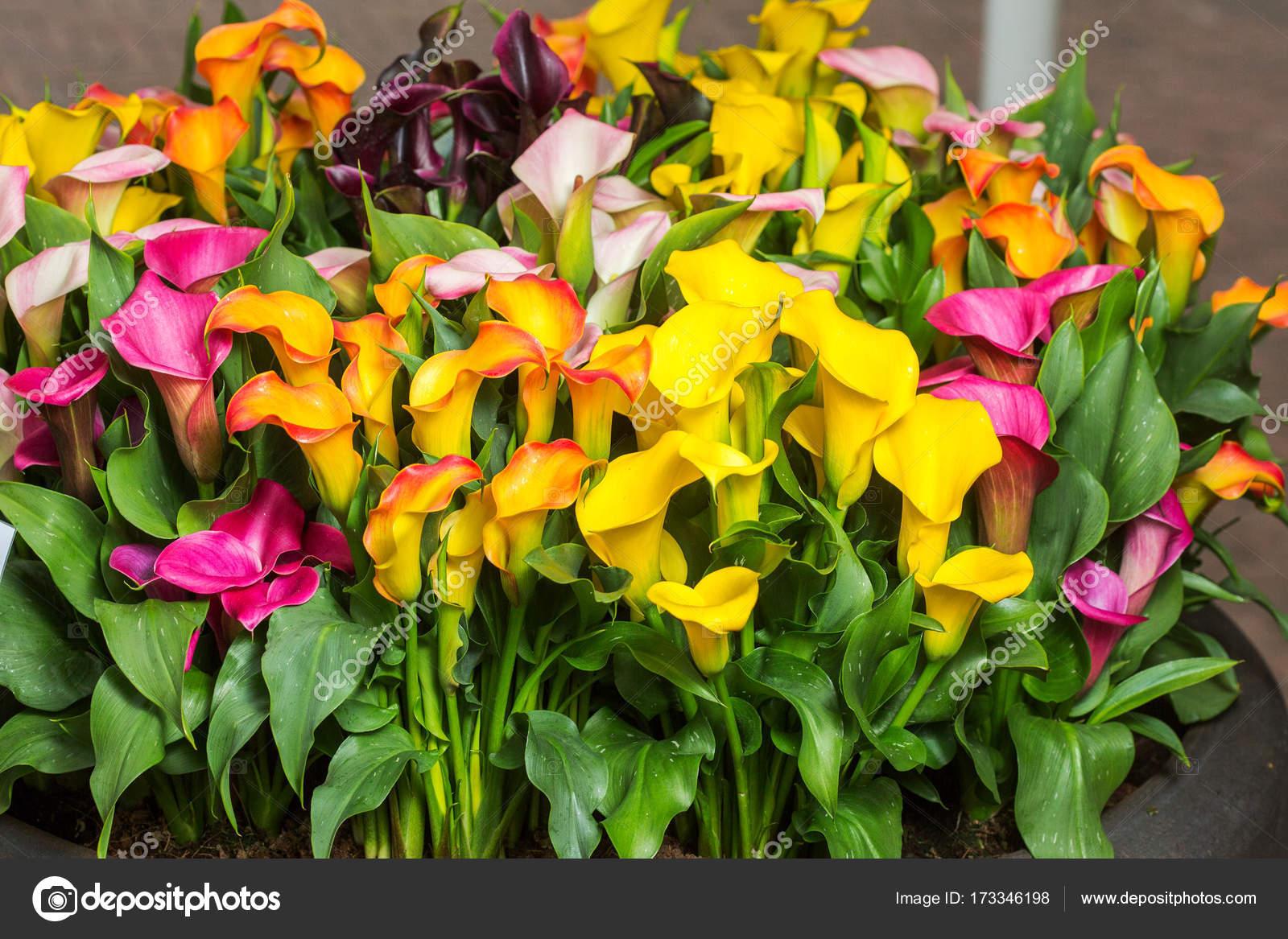 Etwas Neues genug schön bunt Calla Lilie Blumen im Garten — Stockfoto &QI_19