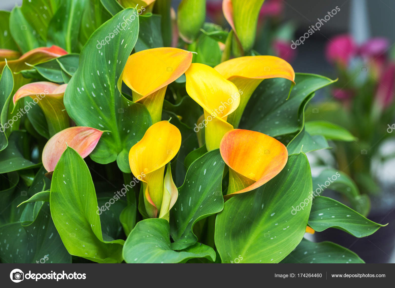 Ramo De Alcatraces Amarillo Flores Fotos De Stock