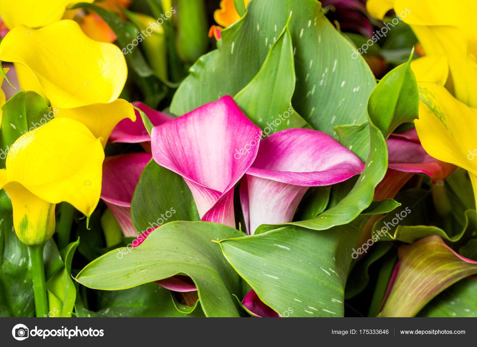 Beautiful multi colored calla lily flowers in garden stock photo beautiful multi colored calla lily flowers in garden stock photo izmirmasajfo