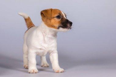 Dog Jack Russell Terrier, Studio, interior.