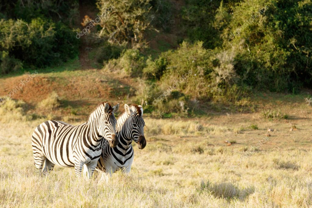The sun setting down on two Zebras