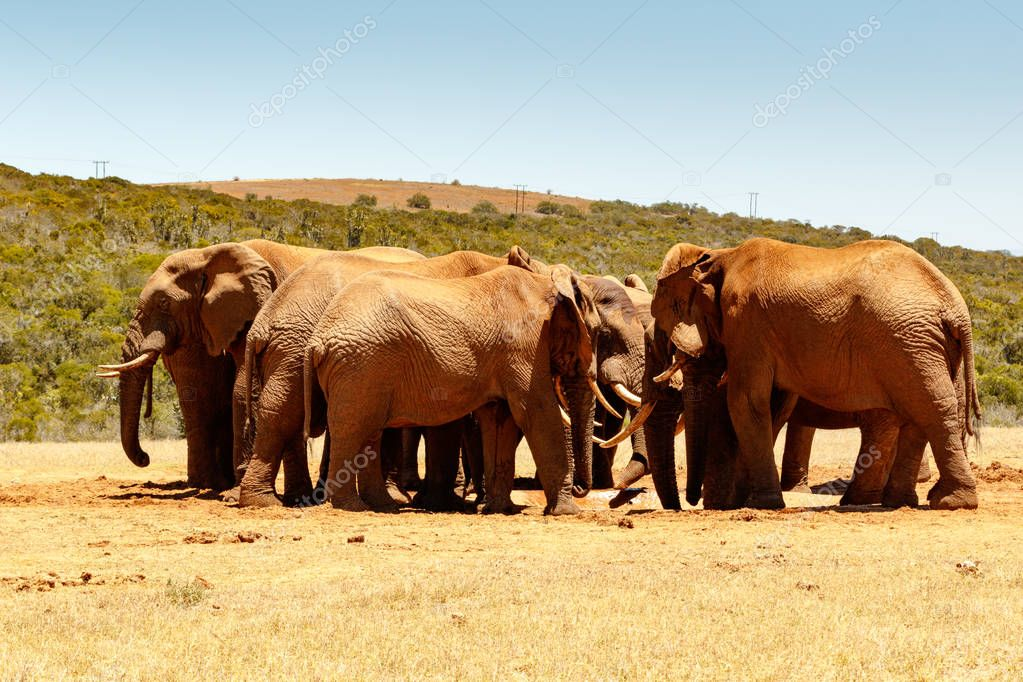 African Elephant family reunion at the dam