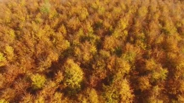 AERIAL: Flying above colorful forest treetops a autumn day.