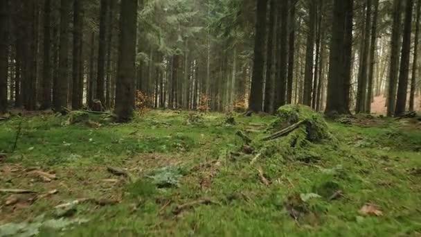 kamera mozgás alonga moss egy fenyő erdőben