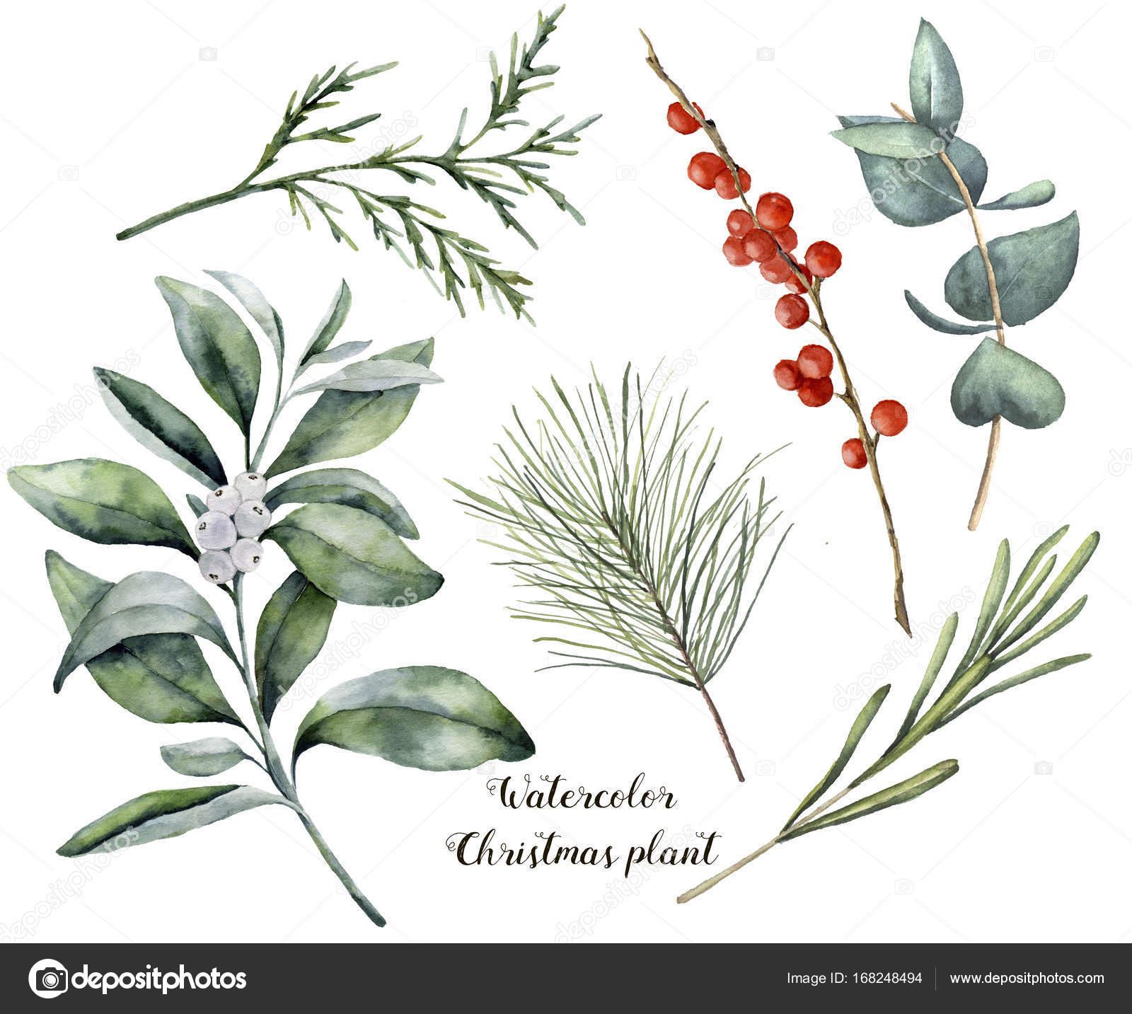 Aquarell Weihnachten Pflanzen Und Beeren Handgemalte