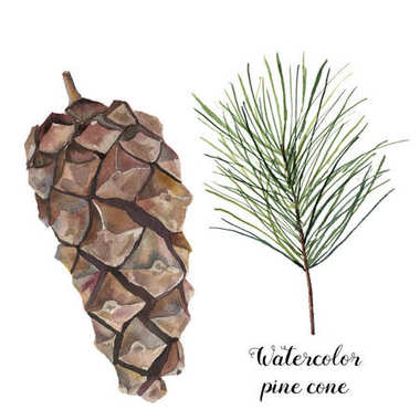 Watercolor pine cone set. Hand painted pine branch with cone isolated on white background. Botanical clip art for design or print. Holiday plant.
