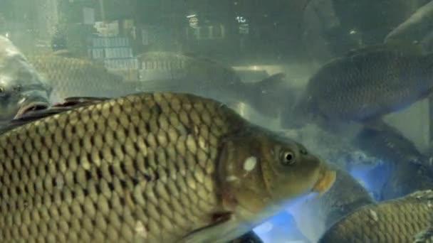 Az akvárium-nagy élő ponty