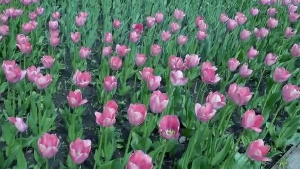 Krásné jaro park vztahuje čerstvé květiny růžové tulipány