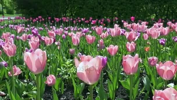 Krásné jaro park vztahuje čerstvé květy růžové a červené tulipány