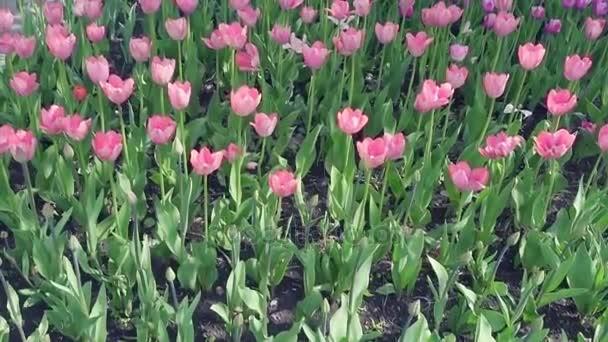 Krásné jaro park vztahuje čerstvé květiny růžové a fialové tulipány.