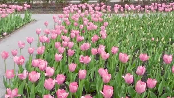 Krásné jaro park vztahuje čerstvé květiny růžové tulipány.