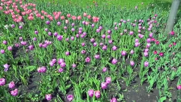 Krásné jaro park vztahuje čerstvé květiny růžové a fialové tulipány