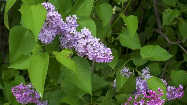 Krásné čerstvé purple violet fialovými květy. Detailní záběr z fialové lila květy