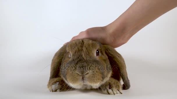 Pelzige Kaninchen ist von einer Hand streichelte. Weißem Hintergrund