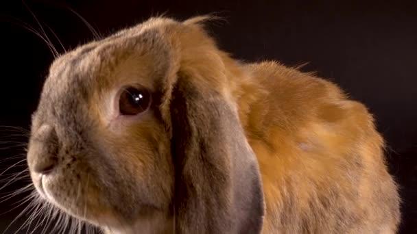 Lappenohr-Kaninchen sitzt auf schwarzem Hintergrund und rührt seine Nase. Schnüffeln.