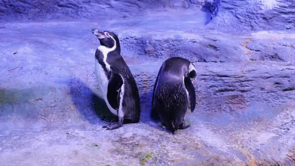 Humboldt penguin stands and combed out. Two penguins are standing nearby.