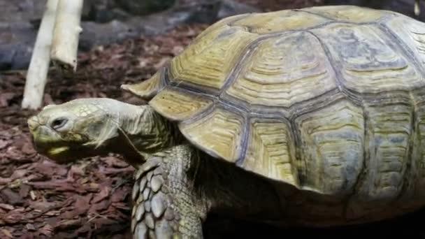 Egy nagy afrikai tüskés teknős sétál a földön..