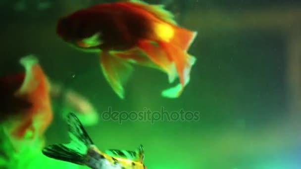 Arany halak, akvárium, akvárium hal úszás