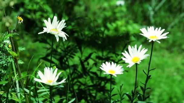 Wild daisies flowers in garden