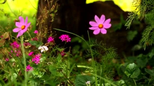 pole růžové květy