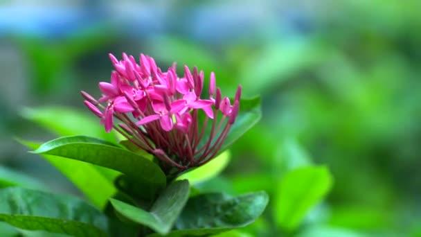 Růžové květy zelené pozadí, pozadí přírody