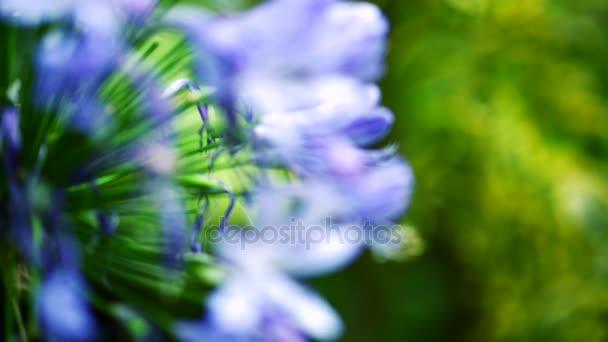 Closeup fialové květy. Přesun zaměření fialové květy na zelené listy v krásné zahradě