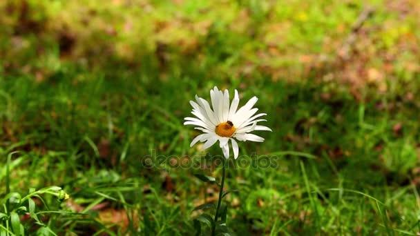 Zblízka Bee na sedmikráska květ