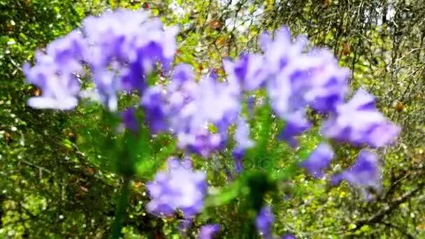 fialová květina detailní, Přesun zaměření fialové květy na zelené listy v krásné zahradě