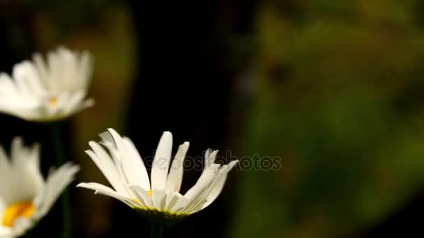 Close Up Of Daisy White Flowers