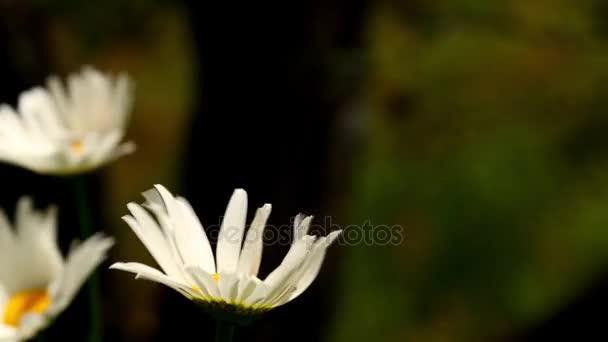 Close Up Daisy bílé květy