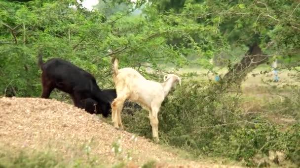 Bílá a černá koza jíst