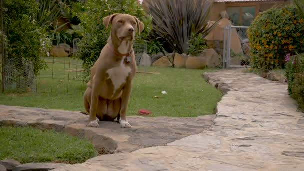 Poslušná žena pit bull pes trpělivě čeká v sedět zůstat v krásné zahradě venkovní kamenné cestě - dolly shot