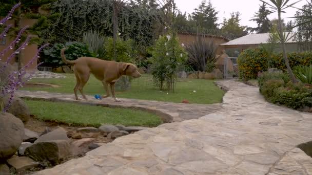 Dobře vychovaný pitbulteriér pes sedí pozorně dvoře ve zpomaleném záběru dolly