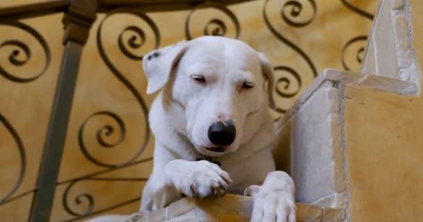 Dobře vychovaný velké smíšené plemeno bílý a černý pes - blízko se zasouvací