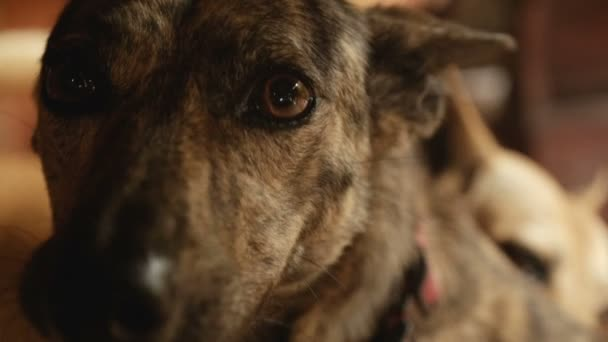 Close up portrait of a mixed breed mongrel dog panting in slow motion
