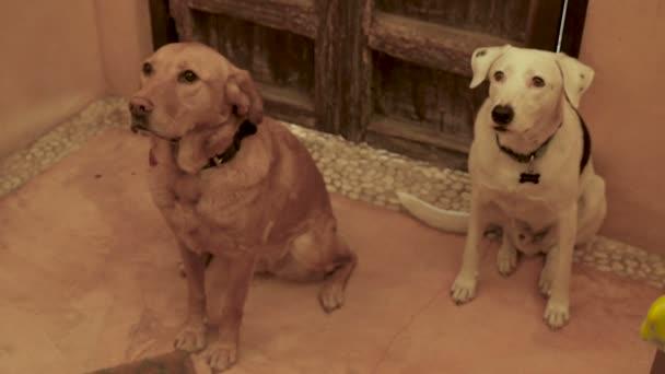 Dva dobře choval psy vzhlédl směrem k fotoaparátu