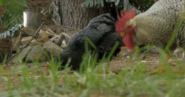Ground Level Shot Of A Rooster And Two Chickens Eating Chicken Feed