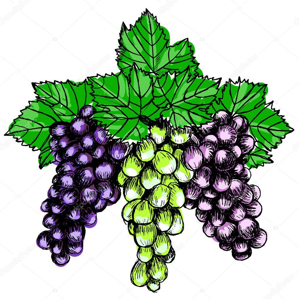cacho de uvas desenho ilustração vetorial de estilo imitação de