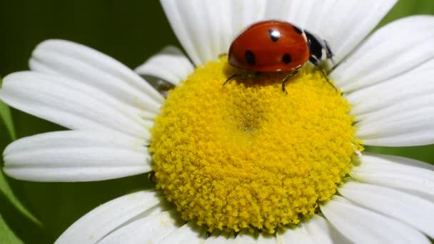 Ladybug crawls on a camomile flower