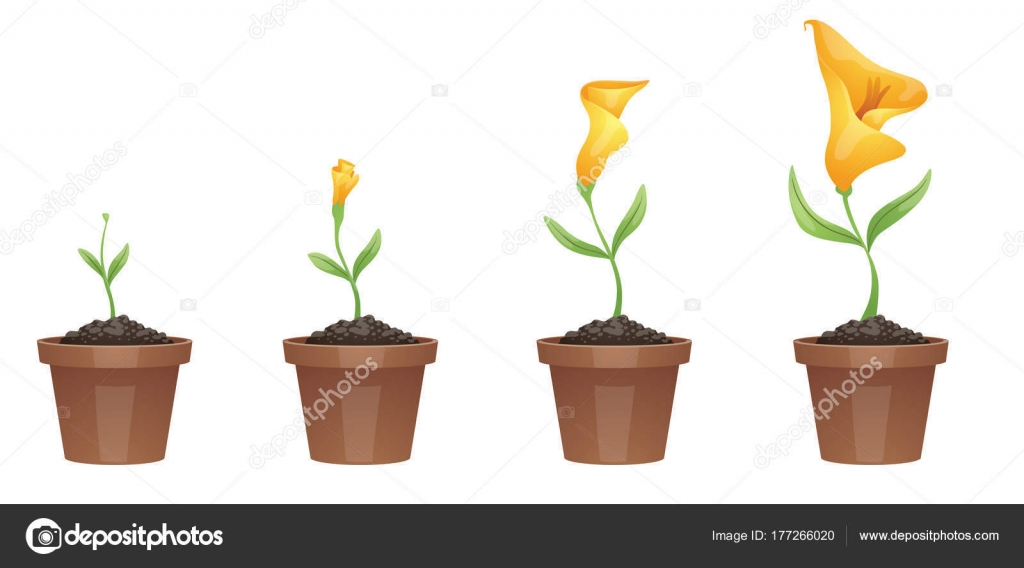 Stages Of Growth Beautiful Yellow Flower Calla Lily Stock