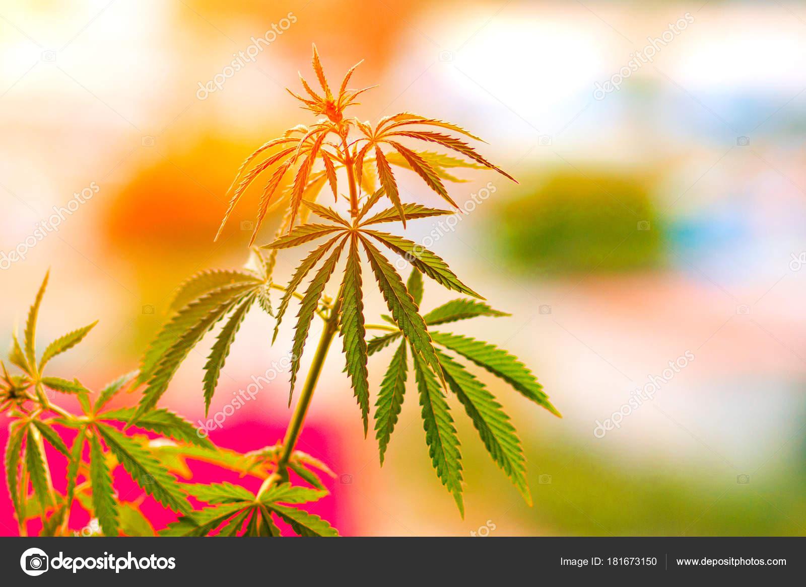 Výsledek obrázku pro marihuana a slunce