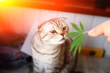 The cat sniffs a leaf of marijuana, canapis, hashish, hash, drug