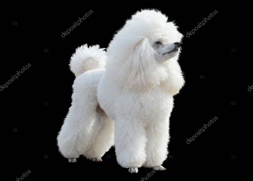 White little Poodle stand isolated