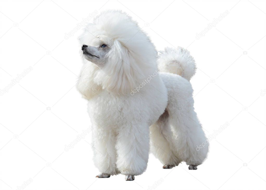 White Poodle stand isolated
